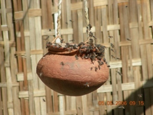 Bees besiege the suspended matka