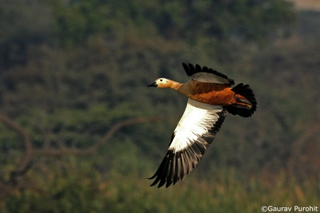 The ruddy shelduck in full splendour over the CTW lake.