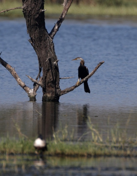 Record shot of  Darter at Upper Lake, CME by Girish Vaze