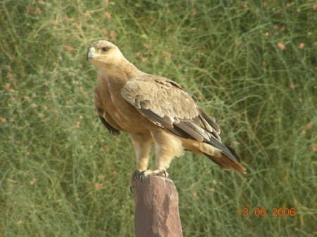 The Tawny Eagle who expressed his opinion!