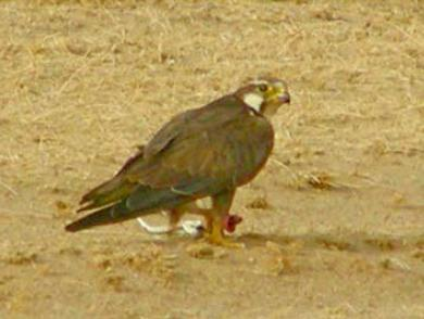 Laggar Falcon (Falco jugger) feeds on a Spiny-tailed Lizard (Uromastyx hardwickii).