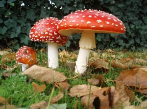 Fly agaric (Amanita muscaria) is the quintessential mushroom of British folklore.