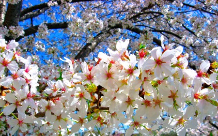 A swathe of white cherry blossoms with carmine stamens hang from a branxch highlighted agaist a blue sky.