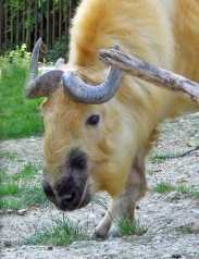 A golden yellow bovine with blue-grey horns curved back and head lowered to eat grass. The fence of a zoo enclosure is seen in the background.